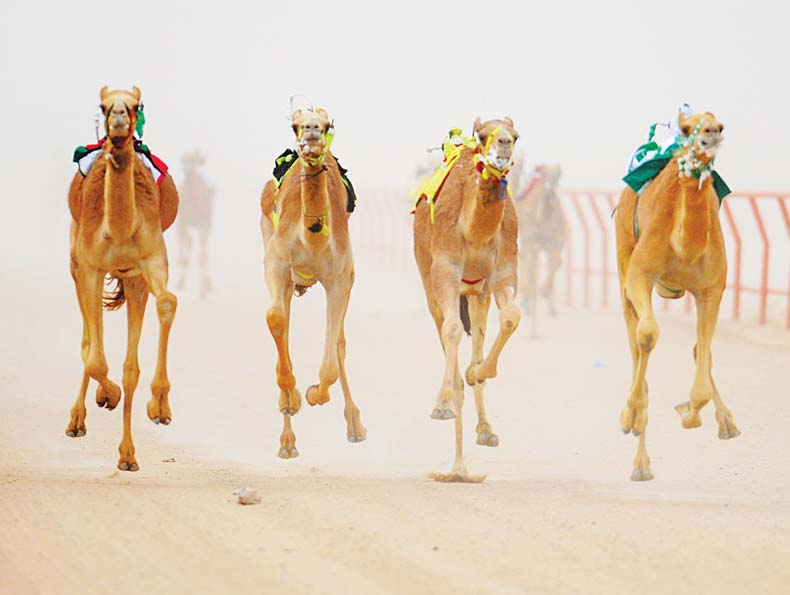 Camel racing sign of preserving heritage and tradition. (Ghazy Gafaf — KUNA)
