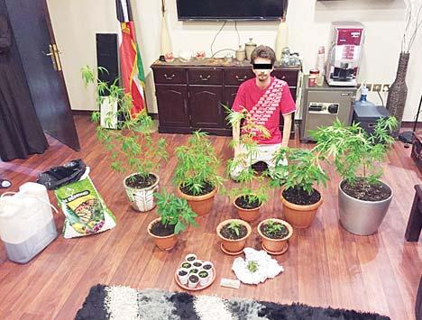 Marijuana grown in flower pots at home