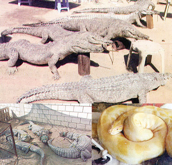 Top: Stuffed crocodiles found in the farm ready for sale. Above: Live crocodiles and an anaconda waiting for death after being starved