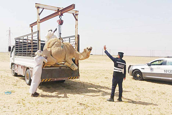 A stray camel is carried away by environment police. Animals roaming around freely can cause traffic accidents