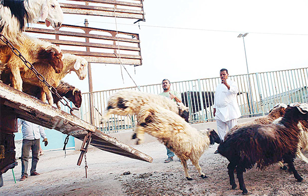 Sheep are unloaded from a truck at a livestock market in Kuwait City on Sept 4, ahead of the Muslim holiday of Eid al-Adha or the 'Feast of Sacrifice'.