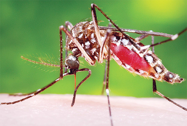 This 2006 photo provided by the Centers for Disease Control and Prevention shows a female Aedes aegypti mosquito in the process of acquiring a blood meal from a human host